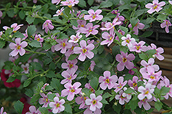 Snowstorm® Pink Bacopa (Sutera cordata 'Snowstorm Pink') at Town And Country Gardens