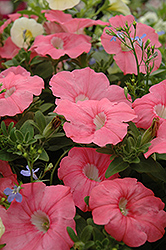 Supertunia® Bermuda Beach Petunia (Petunia 'Supertunia Bermuda Beach') at Town And Country Gardens