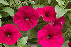 Sanguna Purple Petunia (Petunia 'Sanguna Purple') at Town And Country Gardens