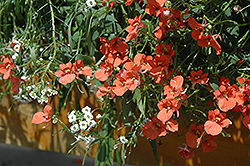 Flirtation® Orange Diascia (Diascia 'Flirtation Orange') at Town And Country Gardens