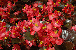 Harmony Scarlet Begonia (Begonia 'Harmony Scarlet') at Town And Country Gardens