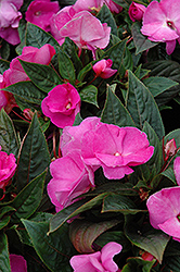 Celebration Lavender Glow New Guinea Impatiens (Impatiens hawkeri 'Celebration Lavender Glow') at Town And Country Gardens