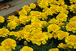 Janie Bright Yellow Marigold (Tagetes patula 'Janie Bright Yellow') at Town And Country Gardens