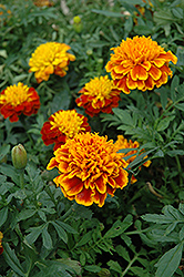 Janie Flame Marigold (Tagetes patula 'Janie Flame') at Town And Country Gardens