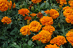 Janie Deep Orange Marigold (Tagetes patula 'Janie Deep Orange') at Town And Country Gardens