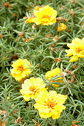Tequila Yellow Portulaca (Portulaca grandiflora 'Tequila Yellow') at Town And Country Gardens