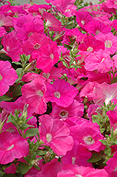 Easy Wave Pink Petunia (Petunia 'Easy Wave Pink') at Town And Country Gardens
