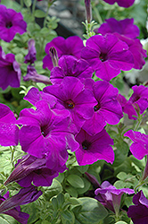 Easy Wave® Blue Petunia (Petunia 'Easy Wave Blue') at Town And Country Gardens