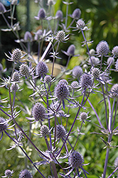 Jade Frost Variegated Sea Holly (Eryngium planum 'Jade Frost') at Town And Country Gardens