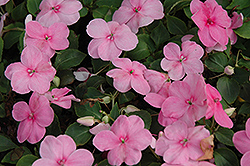Super Elfin® XP Pink Impatiens (Impatiens walleriana 'Super Elfin XP Pink') at Town And Country Gardens