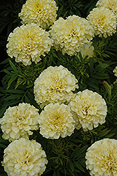 French Vanilla Marigold (Tagetes erecta 'French Vanilla') at Town And Country Gardens