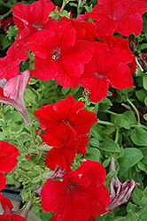 Dreams Red Petunia (Petunia 'Dreams Red') at Town And Country Gardens