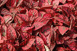 Splash Select Red Polka Dot Plant (Hypoestes phyllostachya 'Splash Select Red') at Town And Country Gardens