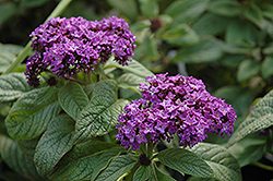 Garden Heliotrope (Heliotropium arborescens) at Town And Country Gardens