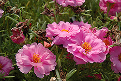 Tequila Pink Portulaca (Portulaca grandiflora 'Tequila Pink') at Town And Country Gardens