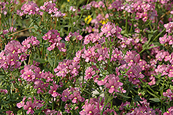 Enchanting Pink Nemesia (Nemesia 'Enchanting Pink') at Town And Country Gardens