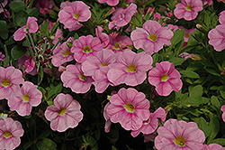 Aloha Soft Pink Calibrachoa (Calibrachoa 'Aloha Soft Pink') at Town And Country Gardens