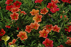 Can-Can® Terracotta Calibrachoa (Calibrachoa 'Can-Can Terracotta') at Town And Country Gardens