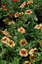 Aloha Tiki Orange Calibrachoa (Calibrachoa 'Aloha Tiki Orange') at Town And Country Gardens