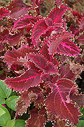Red Ruffles Coleus (Solenostemon scutellarioides 'Red Ruffles') at Town And Country Gardens