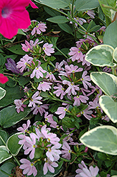 Topaz Pink Fan Flower (Scaevola aemula 'Topaz Pink') at Town And Country Gardens