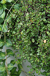 Creeping Wire Vine (Muehlenbeckia axillaris) at Town And Country Gardens