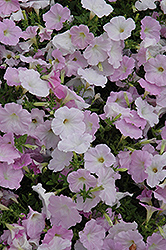 Wave Misty Lilac Petunia (Petunia 'Wave Misty Lilac') at Town And Country Gardens