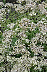 Thundercloud Stonecrop (Sedum 'Thundercloud') at Town And Country Gardens