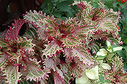 Pink Ruffles Coleus (Solenostemon scutellarioides 'Pink Ruffles') at Town And Country Gardens