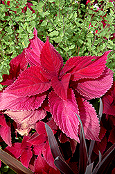 Hot Lava Coleus (Solenostemon scutellarioides 'Hot Lava') at Town And Country Gardens