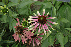 Green Envy Coneflower (Echinacea purpurea 'Green Envy') at Town And Country Gardens