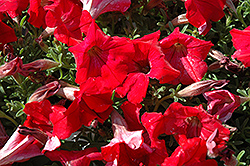 Supertunia® Red Petunia (Petunia 'Supertunia Red') at Town And Country Gardens
