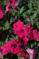 Supertunia Vista® Fuchsia Petunia (Petunia 'Supertunia Vista Fuchsia') at Town And Country Gardens