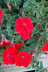 Surfinia® Red Petunia (Petunia 'Surfinia Red') at Town And Country Gardens