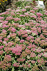 Brilliant Stonecrop (Sedum spectabile 'Brilliant') at Town And Country Gardens