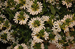 Whirlwind® White Fan Flower (Scaevola aemula 'Whirlwind White') at Town And Country Gardens