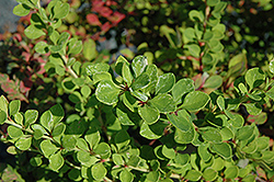 Lime Glow Japanese Barberry (Berberis thunbergii 'Lime Glow') at Town And Country Gardens
