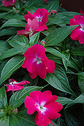 Celebration Raspberry Rose New Guinea Impatiens (Impatiens hawkeri 'Celebration Raspberry Rose') at Town And Country Gardens