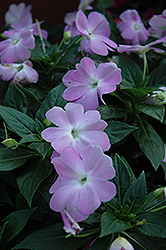 Celebration Icy Blue New Guinea Impatiens (Impatiens hawkeri 'Celebration Icy Blue') at Town And Country Gardens