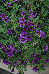 MiniFamous® Compact Dark Blue Calibrachoa (Calibrachoa 'MiniFamous Compact Dark Blue') at Town And Country Gardens