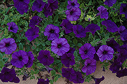 Wave Blue Petunia (Petunia 'Wave Blue') at Town And Country Gardens