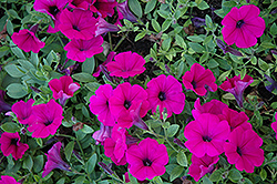 Wave Purple Classic Petunia (Petunia 'Wave Purple Classic') at Town And Country Gardens