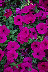 Wave Purple Petunia (Petunia 'Wave Purple') at Town And Country Gardens