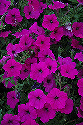 Easy Wave Violet Petunia (Petunia 'Easy Wave Violet') at Town And Country Gardens
