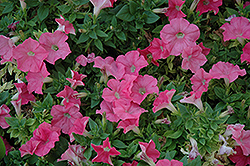 Easy Wave Salmon Petunia (Petunia 'Easy Wave Salmon') at Town And Country Gardens