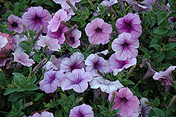 Easy Wave Plum Vein Petunia (Petunia 'Easy Wave Plum Vein') at Town And Country Gardens
