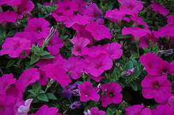 Easy Wave Neon Rose Petunia (Petunia 'Easy Wave Neon Rose') at Town And Country Gardens