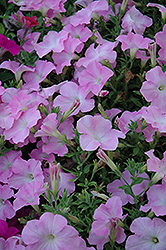 Easy Wave Mystic Pink Petunia (Petunia 'Easy Wave Mystic Pink') at Town And Country Gardens