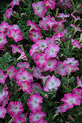 Easy Wave Pink Dawn Petunia (Petunia 'Easy Wave Pink Dawn') at Town And Country Gardens