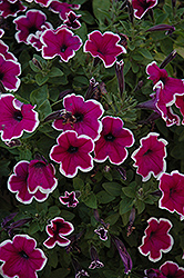 Famous Violet Picotee Petunia (Petunia 'Famous Violet Picotee') at Town And Country Gardens
